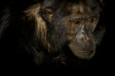 Portrait of a chimpanzee chimpanzee,chimpanzees,chimp,chimps,ape,great ape,apes,great apes,Africa,forest,forests,rainforest,hominidae,hominids,hominid,primate,primates,face,eyes,Pan troglodytes,Chimpanzee,Hominids,Hominidae,C