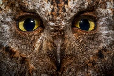 Close up of a common scops-owl staring at the camera bird,birds,birdlife,avian,aves,nocturne,Strigidae,Tytonidae,owl,owls,night time,bird of prey,birds of prey,predator,carnivore,hunter,eyes,looking at camera,Common scops-owl,Otus scops,True Owls,Owls,S