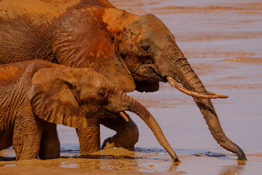 Adult and calf African elephant drinking from a muddy water hole tusk,tusks,watering hole,water hole,drink,drinking,muddy,mud,dirt,dirty,juvenile,mastodon,mastodons,mammoth,mammoths,elephant,elephants,trunk,trunks,herbivores,herbivore,vertebrate,mammal,mammals,terr