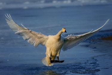 Swan landing on the shore of a lake swan,swans,Animalia,Chordata,Aves,Anseriformes,Anatidae,Cygnus,bird,birds,birdlife,avian,wings,feathers,bill,waterfowl,ponds,lakes,pond,lake,wing,wingspan,flight,flying,fly,in-flight,landing,motion,ac