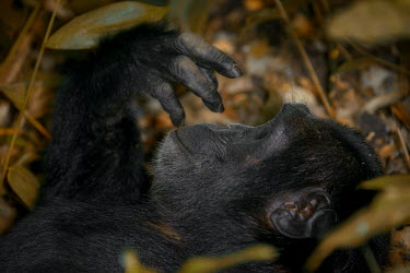 Close up of a chimpanzee lying on the ground chimpanzee,chimpanzees,chimp,chimps,ape,great ape,apes,great apes,Africa,forest,forests,rainforest,hominidae,hominids,hominid,primate,primates,hand,hands,fingers,Pan troglodytes,Chimpanzee,Hominids,Ho