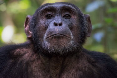 Portrait of a chimpanzee chimpanzee,chimpanzees,chimp,chimps,ape,great ape,apes,great apes,Africa,forest,forests,rainforest,hominidae,hominids,hominid,primate,primates,face,close up,shallow focus,Pan troglodytes,Chimpanzee,Ho