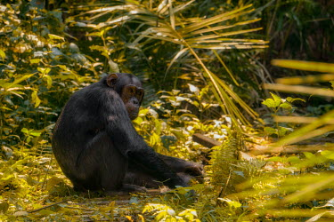 Chimpanzee sitting on the forest floor chimpanzee,chimpanzees,chimp,chimps,ape,great ape,apes,great apes,Africa,forest,forests,rainforest,hominidae,hominids,hominid,primate,primates,Pan troglodytes,Chimpanzee,Hominids,Hominidae,Chordates,C