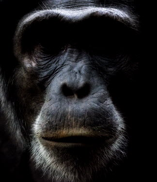Face of a chimpanzee chimpanzee,chimpanzees,chimp,chimps,ape,great ape,apes,great apes,Africa,forest,forests,rainforest,hominidae,hominids,hominid,primate,primates,face,close up,shallow focus,Pan troglodytes,Chimpanzee,Ho
