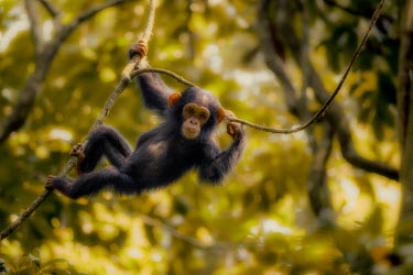 Juvenile chimpanzee hanging from branches chimpanzee,chimpanzees,chimp,chimps,ape,great ape,apes,great apes,Africa,forest,forests,rainforest,hominidae,hominids,hominid,primate,primates,baby,juvenile,child,young,cute,arboreal,Pan troglodytes,C