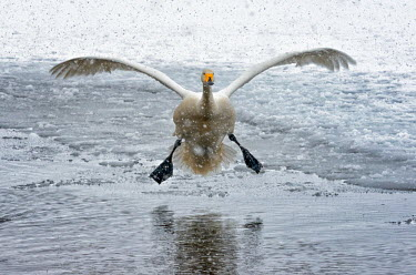 A swan coming to land on a partially frozen lake swan,swans,Animalia,Chordata,Aves,Anseriformes,Anatidae,Cygnus,bird,birds,birdlife,avian,wings,feathers,bill,waterfowl,ponds,lakes,pond,lake,wing,wingspan,flight,flying,fly,in-flight,landing,motion,ac