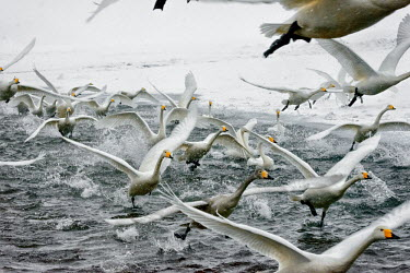 Swans take off from an icy lake swan,swans,Animalia,Chordata,Aves,Anseriformes,Anatidae,Cygnus,bird,birds,birdlife,avian,wings,feathers,bill,waterfowl,ponds,lakes,pond,lake,wing,wingspan,flight,flying,fly,in-flight,take off,motion,a