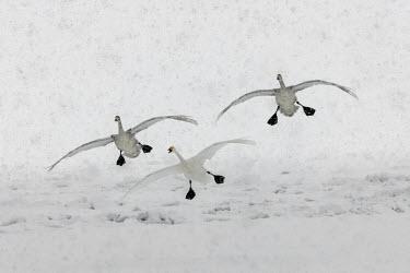 Swans flying through the snow swan,swans,Animalia,Chordata,Aves,Anseriformes,Anatidae,Cygnus,bird,birds,birdlife,avian,wings,feathers,bill,waterfowl,ponds,lakes,pond,lake,wing,wingspan,flight,flying,fly,in-flight,take off,motion,a
