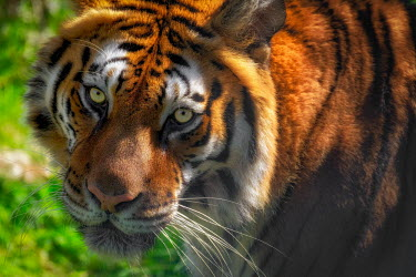 Portrait of a tiger looking at the camera tigers,mammal,mammals,vertebrate,vertebrates,terrestrial,fur,cat,cats,feline,felidae,predator,carnivore,apex,close up,shallow focus,face,stripy,eyes,whiskers,looking at camera,big cats,Tiger,Panthera