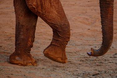 Feet and trunk of an African elephant mastodon,mastodons,mammoth,mammoths,elephant,elephants,trunk,trunks,herbivores,herbivore,vertebrate,mammal,mammals,terrestrial,Africa,African,savanna,savannah,safari,feet,toes,limbs,limb,African eleph