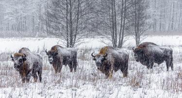 Four European bison stood in a snow covered field herbivores,herbivore,vertebrate,vertebrates,fur,mammal,mammals,terrestrial,bison,cattle,ungulate,bovine,snow,cold,winter,Poland,Europe,horns,horned,coat,frozen,herd,woodland,habitat,graze,grazing,Euro