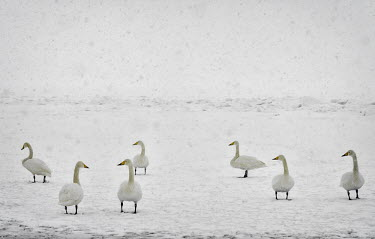 Swans in the snow swan,swans,Animalia,Chordata,Aves,Anseriformes,Anatidae,Cygnus,bird,birds,birdlife,avian,wings,feathers,bill,waterfowl,ponds,lakes,pond,lake,snow,winter,ice,frozen,freeze,freezing,chill,cold,white,wea