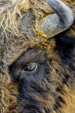 Close up of a bison's face herbivores,herbivore,vertebrate,vertebrates,fur,mammal,mammals,terrestrial,bison,cattle,ungulate,bovine,Poland,Europe,horns,coat,hair,eye,eyes,horn,horned,European bison,Bison bonasus,Chordates,Chorda