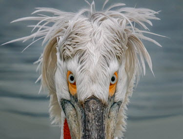 Portrait of a Dalmatian pelican looking at the camera pelican,pelicans,bird,birds,birdlife,avian,aves,bill,seabird,sea bird,seabirds,sea birds,aquatic,aquatic birds,face,close up,shallow focus,eye,eyes,blue eyes,feathers,feather,plumage,funny,Dalmatian p