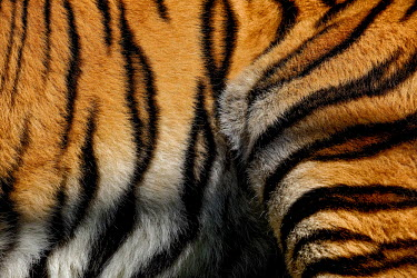 The striped fur of a tiger tigers,coat,fur,cat,cats,feline,felidae,close up,orange,stripy,pattern,patterned,camouflage,big cats,Tiger,Panthera tigris,Carnivores,Carnivora,Mammalia,Mammals,Chordates,Chordata,Felidae,Cats,Tigre,P
