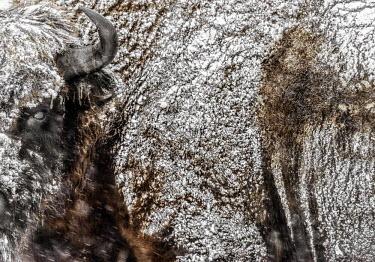 Close up of a European bison's dense fur covered in snow herbivores,herbivore,vertebrate,vertebrates,fur,mammal,mammals,terrestrial,bison,cattle,ungulate,bovine,snow,cold,winter,Poland,Europe,horns,horned,coat,frozen,European bison,Bison bonasus,Chordates,C
