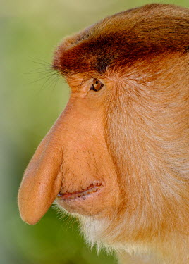 Portrait of a male proboscis monkey showing its enlarged nose monkey,monkeys,primate,primates,mammal,mammals,vertebrate,vertebrates,Asia,Asian,nose,proboscis,face,male,close up,shallow focus,green background,Proboscis monkey,Nasalis larvatus,Mammalia,Mammals,Old