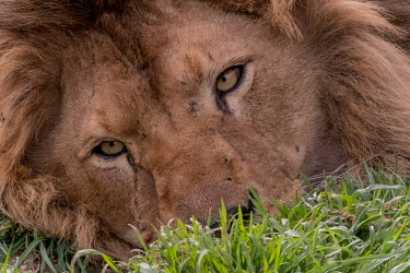 Close up  an adult male lion lying in the grass lions,mammal,mammals,vertebrate,vertebrates,terrestrial,fur,cat,cats,feline,felidae,predator,carnivore,apex,sleepy,relax,relaxed,relaxing,face,close up,eyes,mane,male,tired,big cats,Lion,Panthera leo,