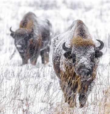 European bison grazing in snow herbivores,herbivore,vertebrate,vertebrates,fur,mammal,mammals,terrestrial,bison,cattle,ungulate,bovine,snow,cold,winter,Poland,Europe,horns,horned,coat,frozen,habitat,graze,grazing,European bison,Bis