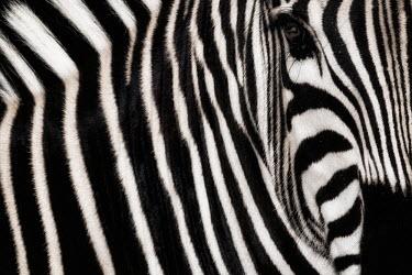 Close up of the side of a zebra zebra,Animalia,Chordata,Mammalia,Perissodactyla,Equidae,Equus,striped,stripes,herbivores,herbivore,vertebrate,mammal,mammals,terrestrial,Africa,African,savanna,savannah,safari,wild horse,horse,horses,