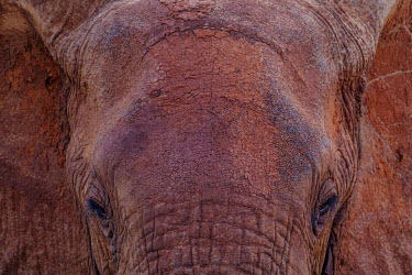 Close up of the forehead of an African elephant mastodon,mastodons,mammoth,mammoths,elephant,elephants,trunk,trunks,herbivores,herbivore,vertebrate,mammal,mammals,terrestrial,Africa,African,savanna,savannah,safari,close up,face,skin,mud,muddy,dirt,
