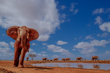 An African elephant marches past a water hole mastodon,mastodons,mammoth,mammoths,elephant,elephants,trunk,trunks,herbivores,herbivore,vertebrate,mammal,mammals,terrestrial,Africa,African,savanna,savannah,safari,ears,blue sky,watering hole,herd,s