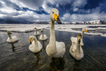 A bevy of swans on a partially frozen lake swan,swans,Animalia,Chordata,Aves,Anseriformes,Anatidae,Cygnus,bird,birds,birdlife,avian,wings,feathers,bill,waterfowl,ponds,lakes,pond,lake,white,snow,ice,cold,winter,frozen,freeze,freezing,action,mo