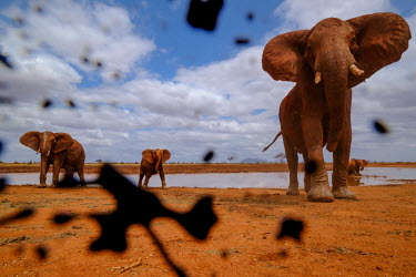 African elephant look suspiciously at the muddy camera mastodon,mastodons,mammoth,mammoths,elephant,elephants,trunk,trunks,herbivores,herbivore,vertebrate,mammal,mammals,terrestrial,Africa,African,savanna,savannah,safari,ears,blue sky,watering hole,herd,m