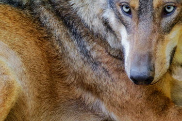 Close up of a red wolf predator,carnivore,canine,wolf,wolves,hunter,canidae,canis,dog,eyes,blue eyes,fur,coat,close up,dogs,wild dogs,Red wolf,Canis rufus,Chordates,Chordata,Dog, Coyote, Wolf, Fox,Canidae,Mammalia,Mammals,C
