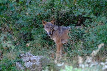 A red wolf emerging from the bushes predator,carnivore,canine,wolf,wolves,hunter,canidae,canis,dog,looking at camera,eyes,shrub,vegetation,foliage,dogs,wild dogs,Red wolf,Canis rufus,Chordates,Chordata,Dog, Coyote, Wolf, Fox,Canidae,Mam