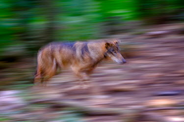 red wolf in motion predator,carnivore,canine,wolf,wolves,hunter,canidae,canis,dog,forest,forests,motion,action,movement,artistic,arty,Red wolf,Canis rufus,Chordates,Chordata,Dog, Coyote, Wolf, Fox,Canidae,Mammalia,Mamma
