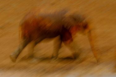 African elephant in motion mastodon,mastodons,mammoth,mammoths,elephant,elephants,trunk,trunks,herbivores,herbivore,vertebrate,mammal,mammals,terrestrial,Africa,African,savanna,savannah,safari,action,motion,walking,running,art,