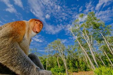 A male proboscis monkey sitting on the floor at the edge of a forest monkey,monkeys,primate,primates,mammal,mammals,vertebrate,vertebrates,Asia,Asian,nose,proboscis,face,male,forest,rainforest,blue sky,sky,clouds,landscape,habitat,Proboscis monkey,Nasalis larvatus,Mamm