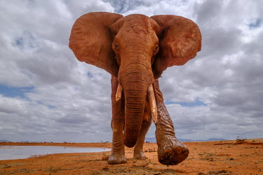A muddy African elephant walking toward the camera mastodon,mastodons,mammoth,mammoths,elephant,elephants,trunk,trunks,herbivores,herbivore,vertebrate,mammal,mammals,terrestrial,Africa,African,savanna,savannah,safari,ears,tusk,tusks,sky,clouds,landsca
