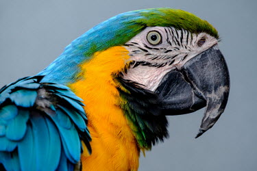 Portrait of a blue-and-yellow macaw bird,birds,birdlife,avian,aves,wings,feathers,bill,plumage,parrot,parrots,colour,colourful,blue,yellow,face,eye,close up,shallow focus,looking at camera,Blue-and-yellow macaw,Ara ararauna,Parakeets, M
