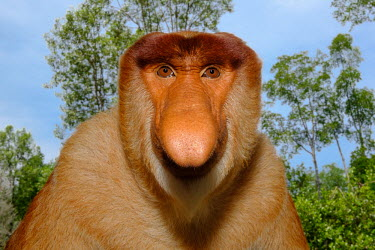 Portrait of a male proboscis monkey showing its enlarged nose monkey,monkeys,primate,primates,mammal,mammals,vertebrate,vertebrates,Asia,Asian,nose,proboscis,face,male,forest,rainforest,close up,shallow focus,habitat,sky,Proboscis monkey,Nasalis larvatus,Mammali