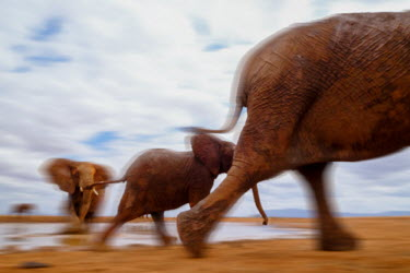 African elephant in motion leaving a water hole mastodon,mastodons,mammoth,mammoths,elephant,elephants,trunk,trunks,herbivores,herbivore,vertebrate,mammal,mammals,terrestrial,Africa,African,savanna,savannah,safari,action,motion,walking,running,move