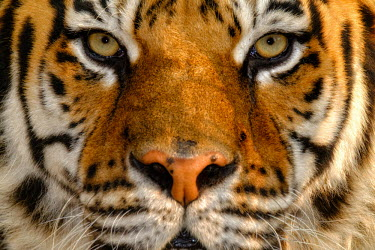 Close up portrait of a tiger tigers,mammal,mammals,vertebrate,vertebrates,terrestrial,fur,cat,cats,feline,felidae,predator,carnivore,apex,close up,shallow focus,face,stripy,eyes,whiskers,looking at camera,big cats,Tiger,Panthera