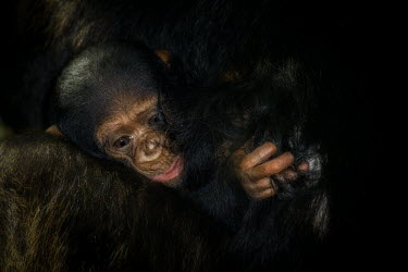 Close up of a baby chimpanzee clinging to its mother chimpanzee,chimpanzees,chimp,chimps,ape,great ape,apes,great apes,Africa,forest,forests,rainforest,hominidae,hominids,hominid,primate,primates,young,cute,baby,juvenile,child,close up,nipple,breast,mot