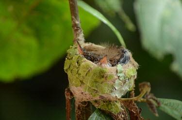 Hummingbird chicks in their snug nest hummingbird nest,bird nest,hummingbird,hummingbirds,nest,nesting,roost,roosting,home,house,habitat,shelter,cosy,sleep,sleeping,young,juvenile,chick,baby,bird,birds,birdlife,avian,Animalia,Chordata,Ave