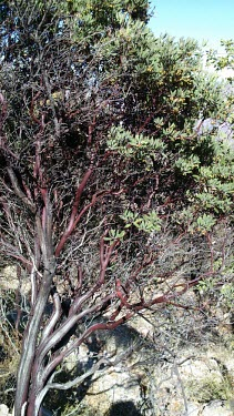 Manzanita tree in Copper Canyon, Mexico manzanita,manzanita tree,tree,outside,trees,branches,bark,trunk,habitat,dry,arid,little apple,berry,fruit,fruiting,Copper canyon,Mexico,Central America,Americas,Plantae,Angiosperms,Eudicots,Asterids,E