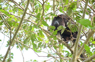 A Guatemalan black howler climbing through the canopy howler,howler monkey,monkey,monkeys,primate,primates,tree,arboreal,face,jungle,jungles,forest,forests,rainforest,canopy,Americas,Central America,Guatemalan black howler,Alouatta pigra,Primates,Mammali