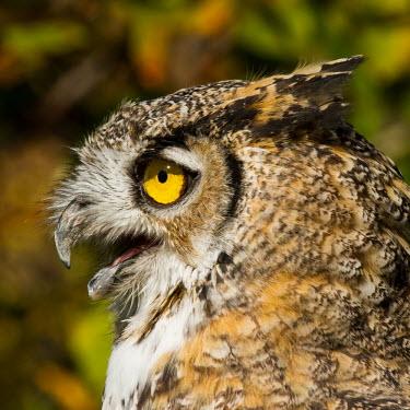 Great horned owl Strigidae,Tytonidae,owl,owls,bird of prey,birds of prey,predator,talons,carnivore,hunter,eye,eyes,bill,feathers,plumage,squawk,portrait,close up,face,shallow focus,Great horned owl,Bubo virginianus,Ch