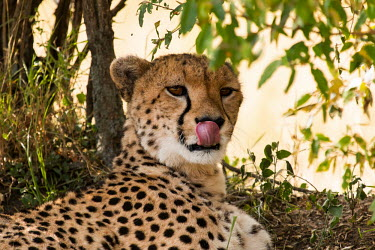 Cheetah under tree licking mouth cat,cats,feline,felidae,predator,carnivore,big cat,big cats,apex,vertebrate,mammal,mammals,terrestrial,Africa,African,savanna,savannah,safari,pattern,patterned,spots,looking at camera,relax,relaxing,r