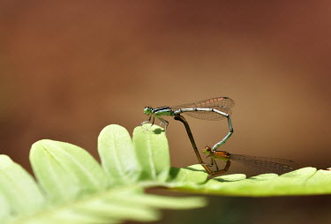 Two damselfly mating on a leaf damselfly,damselflies,insect,insects,invertebrate,invertebrates,Animalia,Arthropoda,Insecta,Odonata,Coenagrionidae,mating,mate,copulate,reproduction,reproduce,relationship,romance,love,leaf,negative s