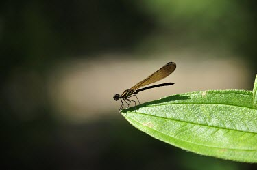 Damselfly resting on a leaf damselfly,damselflies,insect,insects,invertebrate,invertebrates,Animalia,Arthropoda,Insecta,Odonata,leaf,negative space,wings,macro,close up,green background,sunbathing,bask,basking,shallow focus