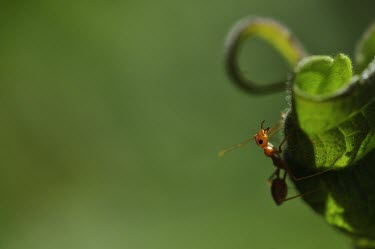 Ant climbing up a leaf ant,ants,insect,insects,invertebrate,invertebrates,Animalia,Arthropoda,Insecta,Hymenoptera,Formicidae,leaf,green background,macro,shallow focus,close up,negative space,mandible,mandibles,jaw,jaws