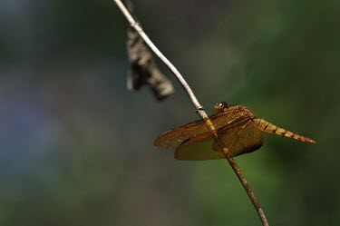 Dragonfly on a twig dragonfly,dragonflies,insect,insects,invertebrate,invertebrates,Animalia,Arthropoda,Insecta,Odonata,negative space,wings,macro,close up,sunbathing,bask,basking,shallow focus