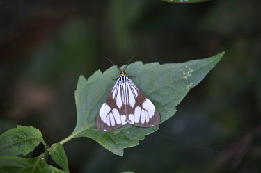 White tiger moth on a leaf white tiger moth,tiger moth,moth,moths,Animalia,Arthropoda,Insecta,Lepidoptera,Noctuoidea,Erebidae,Nyctemera,Nyctemera coleta,insect,insects,invertebrate,invertebrates,wings,macro,close up,leaf,patter
