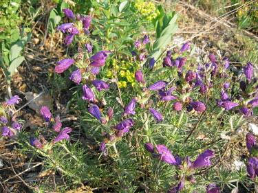 Purple flowers of a Dracocephalum austriacum flower,flowers,purple,plant,plantlife,flora,petal,petals,scrub,vegetation,plants,bee,bees,bumblebee,bumblebees,Plantae,Angiosperms,Eudicots,Asterids,Lamiales,Lamiaceae,Dracocephalum,Dracocephalum aust